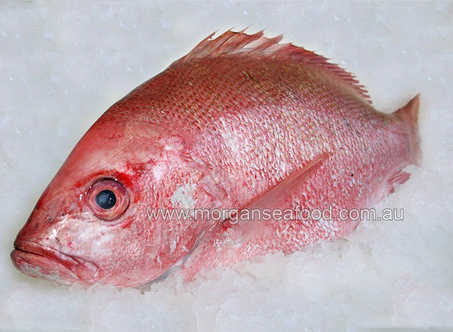 Local Crimson Snapper caught in Queensland
